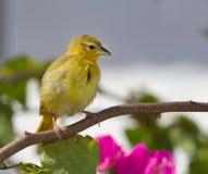 kanarowy kolor żółty Fotografia Stock