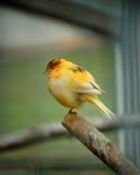 Kanarowy ptak Obraz Royalty Free