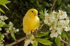 Kanarowy ptak Obraz Stock
