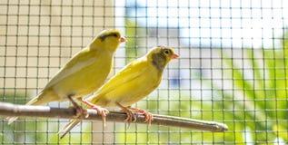 Kanarowy ptak umieszczał na kiju wśrodku klatki obraz stock