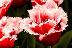 Kanasta tulipan Fotografia Royalty Free