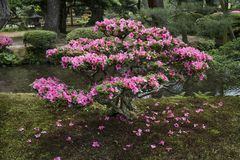 Pink flowering azalea shrub in Gyokuseninmaru Garden. Kanazawa - Japan, June 9, 2017: Pink flowering azalea shrub in Gyokuseninmaru Garden at Kanasawa castle in stock image