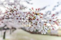 Kanazawa slott med Sakura träd Royaltyfria Bilder