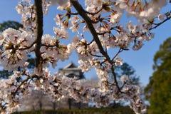 Kanazawa slott till och med Cherry Blossoms - Kanazawa, Japan royaltyfri foto