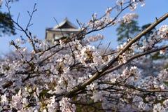 Kanazawa slott till och med Cherry Blossoms - Kanazawa, Japan Royaltyfri Fotografi