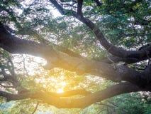 Kanchanaburi, Tailândia - 28 de outubro de 2017: Árvore gigante de Chamchuri mais de cem anos velho em Kanchanaburi, Tailândia imagem de stock