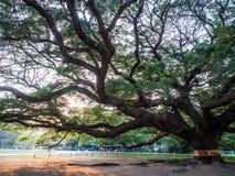 Kanchanaburi, Tailândia - 28 de outubro de 2017: Árvore gigante de Chamchuri mais de cem anos velho em Kanchanaburi, Tailândia fotos de stock royalty free