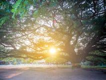 Kanchanaburi, Tailândia - 28 de outubro de 2017: Árvore gigante de Chamchuri mais de cem anos velho em Kanchanaburi, Tailândia imagens de stock royalty free