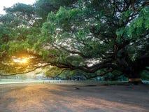 Kanchanaburi, Tailândia - 28 de outubro de 2017: Árvore gigante de Chamchuri mais de cem anos velho em Kanchanaburi, Tailândia fotos de stock