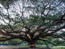 Kanchanaburi, Tailândia - 28 de outubro de 2017: Árvore gigante de Chamchuri mais de cem anos velho em Kanchanaburi, Tailândia fotografia de stock royalty free