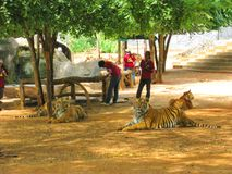 KANCHANABURI, TAILANDIA - 25 de abril de 2017 tigre el dormir, límite del tigre Imágenes de archivo libres de regalías