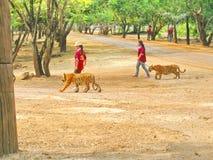 KANCHANABURI, THAÏLANDE - 25 avril 2017 tigre en Tiger Temple Kanchanaburi, Thaïlande Photos libres de droits