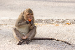 Kanchanaburi, Thailand: Fallhammer, der Papaya isst Stockfotos