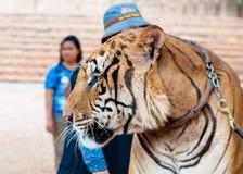 Kanchanaburi, Thailand - 23. Mai 2014: Besetzen Sie und Freiwillige mit Bengal-Tiger bei Tiger Temple am 23. Mai 2014 in Kanchana Stockfoto