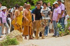 Tourists walk with tiger handled by Abbot Phra Acharn Phoosit Khantidharo in Tiger Temple Kanchanaburi, Thailand. KANCHANABURI, THAILAND - MAY 23, 2009 Stock Photo