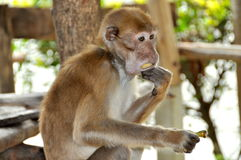 Kanchanaburi, Thailand: Monkey Eating Banana Stock Image