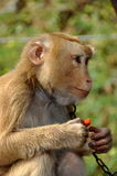 Kanchanaburi, Thailand: Monkey Eating Papaya Stock Images