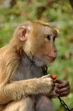 Kanchanaburi, Thailand: Monkey Eating Papaya Stock Images