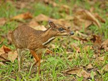 Kanchil - lesser mouse deer Royalty Free Stock Photos
