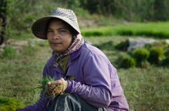 KANDAL PROVINCE, CAMBODIA - DECEMBER 31, 2013 - Female Rice Worker with Rice Clump in her Hand. A female worker looks up from her work with a freshly pulled Royalty Free Stock Photos