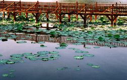 Kandawgyi Lake, Yangon. Close up of water lilies and wooden footpath along the edge of Kandawgyi Lake in central Yangon, Myanmar Stock Photography