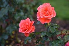 Kandelaber Rose Duo Arkivbilder