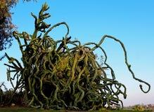 Kandelaberbaum, Euphorbiengummi ingens lizenzfreies stockfoto