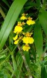 Kandian dansare Orchid Arkivbild