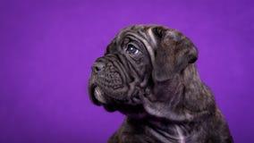 Kane Corso puppy. Portrait on purple background. royalty free stock photo