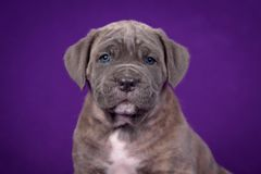 Kane Corso-puppy Portret op purpere achtergrond stock afbeelding