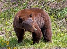 Kanelbrun amerikansk svart björn Royaltyfri Foto