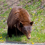 Kanelbrun amerikansk svart björn Arkivbild
