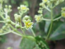 Kanelbrun blomma fotografering för bildbyråer