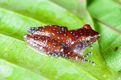 Kanelbrun grodaNyctixalus pictus på ett blad Fotografering för Bildbyråer