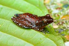 Kanelbrun grodaNyctixalus pictus på ett blad Royaltyfria Bilder