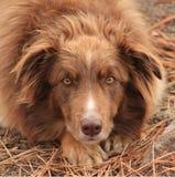 kanelbrunt hundskydd Arkivfoto