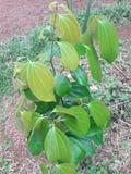 Kanelbrunt träd Royaltyfria Bilder