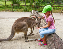 Girl feeding kangaroo Royalty Free Stock Images