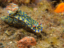 Kanga Nudibranch 01 de Hypselodoris Images stock