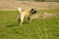 Kangal Royalty Free Stock Images