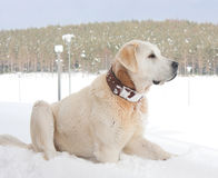 Kangal dog Stock Images