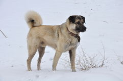 Kangal (karabash) Stock Photography