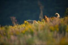 Kangal. The wild nature of Bulgaria. Free nature. A beautiful picture of nature. Rhodopes. Mountains in Bulgaria. European wildlif. E. Madzarovo. River Arda royalty free stock photos