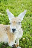 Kangaroo. Lying in grass with a cool expression on his face Stock Photography