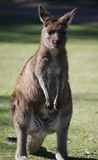 Kangaroo. Front view of upright kangaroo Stock Image