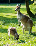 Kangaroo. Female Kangaroo watching over her baby Stock Photos