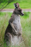 Kangaroo. Australian Kangaroo royalty free stock photo