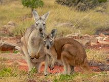 Kangaroo. Mother with child in west-australia stock photos