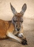 Sleeping Male Red Kangaroo Stock Photo