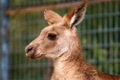 Kangaroo. A young kangaroo in zoo Royalty Free Stock Photo